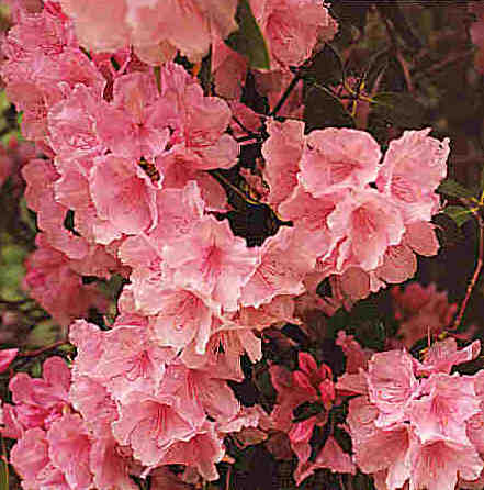 Azaleas - very popular garden flower
