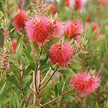 Bottle Brush - attractive native shrub.