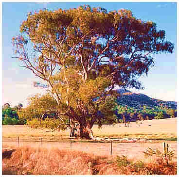Australian gum tree alongside the Ovens Valley Highway - Bright - Victoria.